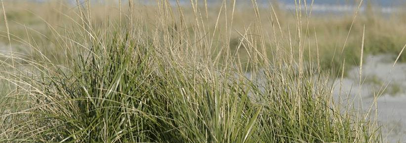 chrurchs-beachgrass-nursery